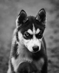 When I grow up I'm gonna be mean... (adrian.sadlier) Tags: dogs puppy husky