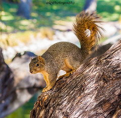 Red Fox Squirrel (T.J.Gilmere (670,000 views Thanks!)) Tags: park city trees summer color tree nature colors beautiful canon photography pond furry squirrel colorado flickr tan parks coloradosprings northamerica bestphotoever sigma70300mmf456dgmacro northamericanwildlife coloradowildlife canon50d redfoxsquirrel