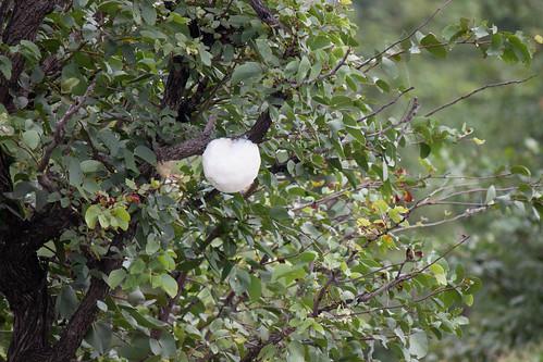 """Poisen Frog Egg Sack <a style=""""margin-left:10px; font-size:0.8em;"""" href=""""http://www.flickr.com/photos/117397217@N06/12491272184/"""" target=""""_blank"""">@flickr</a>"""