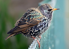 Star im Schlichtkleid (karinrogmann) Tags: star starling vogel storno coth5 mygearandme