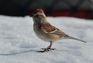 American Tree Sparrow on Snow