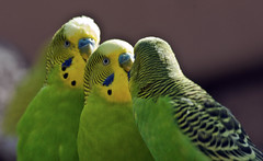 Mulling it Over -- Bugerigars (Melosittacus undulatus); Albuquerque, NM, BioPark Zoo [Lou Feltz] (deserttoad) Tags: park newmexico bird nature animal zoo humor bugerigar