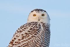 Snowy Owl Portrait (Jim Salge) Tags: snowy newengland newhampshire nh owl snowyowl irruption