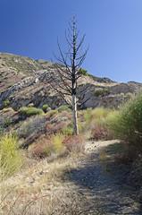 Burned Tree From 2009 Fire (Scrubhiker (USCdyer)) Tags: usa hiking pasadena mountlowe pacificelectricrailwaycompany