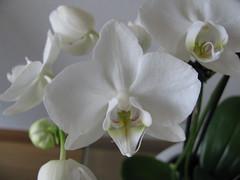 blanc de blanc (beatrice bl and Col) Tags: blanc orchidée