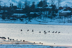(zhouyousifang) Tags: china winter snow bird  yunnan  2014   blackneckedcrane