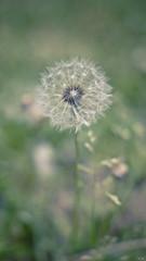 Dandelion (AlexSwitch) Tags: flowers nature sony natura a37 sonyalpha fotografinewitaliangeneration