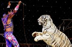 Tiger Show (Adventurer Dustin Holmes) Tags: circus tiger bigcat tigers bigcats whitetiger springfieldmissouri 2014 springfieldmo shrinecircus tigershow tigertamer aboubenadhemshrinecircus