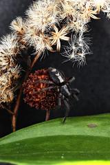 Big Step (Macroscopic Solutions) Tags: plants white black macro spider connecticut arachnid solutions macropod animalia arthropoda invert arachnida araneae macroscopic parsonspider herpyllusecclesiasticus chelicerata gnaphosidae invertabrates herpyllus taxonomy:kingdom=animalia taxonomy:class=arachnida taxonomy:order=araneae taxonomy:phylum=arthropoda taxonomy:subphylum=chelicerata taxonomy:family=gnaphosidae taxonomy:binomial=herpyllusecclesiasticus easternparsonspider taxonomy:genus=herpyllus macroscopicsolutions taxonomy:species=ecclesiasticus taxonomy:common=easternparsonspider taxonomy:common=parsonspider