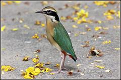 4081 - Indian pitta (chandrasekaran a) Tags: india nature birds handheld chennai ts tamron200500mm indianpitta canon60d