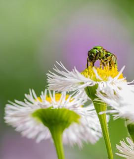 Bee on wldflower 2-1
