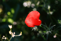 (inmost_light) Tags: red flower green film analog israel poppy analogue