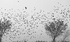 When Leaves Fly From Trees (Jordan Ladikos) Tags: ohio bw lake tree bird nature animal wonder landscape blackwhite spring outdoor dusk wildlife text cleveland flock swamp soul marsh erie migration vernal inspirational blackbird swarm wetland murmuration redwinged lorain agelaius phoeniceus