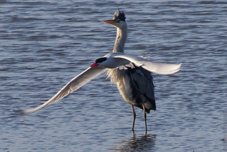 The battle of Grey Heron and Caspian tern 3