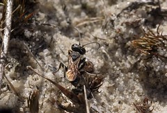 Dinetus pictus f - 28 VI 2015 (el.gritche) Tags: hymenoptera france 40 crabronidae dinetus pictus female dinetuspictus wasp guepe