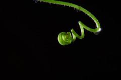 Tendril (HacksawGeneDuggan) Tags: plant flower green blackbackground garden spiral gardening cucumber tendril droplet swirl growing grown circular waterdroplet cucumbertendril floweronblackbackground flowerwithblackbackground eugenecampbell