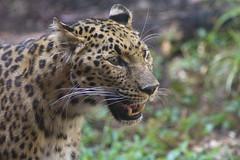 Amur leopard (ucumari photography) Tags: sc animal mammal south bigcat carolina amurleopard pantherapardusorientalis greenvillezoo specanimal ucumariphotography dsc8489