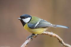 IMG_9187 (EStolyarov) Tags: bird nature fauna forest wildlife sigma greattit parusmajor natu canon7d atcloserange sigma100300f4apoexhsm
