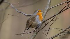 Rotkehlchen singt / Robin singing (Oerliuschi) Tags: rotkehlchen singvogel birds natur gesang ast leicadg100400 lumixgx8 panasonic erithacusrubecula vögel fliegenschnäpper robin