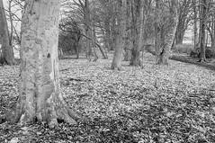 A North Yorkshire Woods.  (the window in the woods) (johnhjic) Tags: johnhjic nikon d90 ir northyorkshire wood woods tree trees helperby secret door woodland woodlands fairytale story window windows little people greatbritain stick sticks blackwhite black white bw england english
