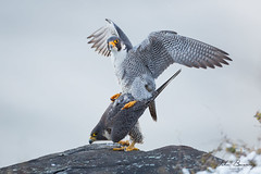 Peregrine Winter Mating 2 (johnbacaring) Tags: peregrinemating peregrinefalcon winter falcon mating raptor birding