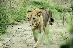 (marcelosilvadova) Tags: lion safari south africa january sudafrica leon sabana green verde earth nature