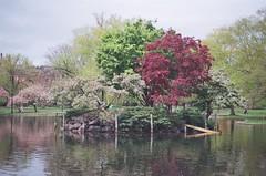 (pmank) Tags: trees film boston 35mm garden 50mm duck spring pond nikon f18 publicgardens n6006 nikonn6006