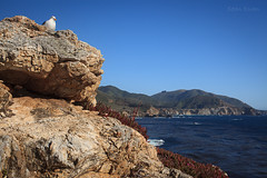 Perch (flopper) Tags: ocean california bridge bird rock coast seagull bigsur perch tranquilscene bixbycreekbridge