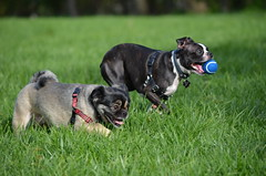 Dogs @IMA, 09-30-2012 086 (Hazel the Boston Terrier) Tags: boston terrier hazel indianapolismuseumofart
