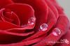قطرات (Fatimah Alzwyed .. Instagram:fatimahalzwyed) Tags: وردة هديه كواليس قطرات ماكرو حمراء فاطمة بصمة مخمل الزويد أنين