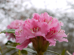 Challenges (Lancashire Lass Photo's) Tags: pink nature spring bokeh rhododendron blinkagain