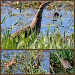 Splendor in the grass(es) (Laura Rowan) Tags: bird water canon spring birding grasses marsh americanbittern bittern ebel horiconmarsh