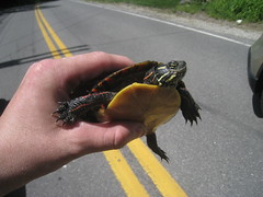 I saved this little guy from getting run over (sixty8panther) Tags: saved from road red rescue orange usa black green beautiful car yellow truck river island pond stream driving bright turtle reptile stripes painted smooth shell newengland fresh camo turtles northamerica waters species brook aquatic creature along bold genus runover picta paintedturtle slowmoving slowdown chrysemys emydidae derrynh yellowbelly easternpaintedturtle northshoreroad derrynewhampshire bekindtoanimals