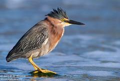 Green Heron (Bob Stronck) Tags: avian redwoodcity redwoodshores sanmateocounty greenheron butoridesvirescens heronlikebirds stronckphotocom birdsofsanfranciscobay ©2013rmstronck