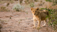Lion Cubs (1 of 2).jpg (lknight_1) Tags: southafrica lion cubs kruger lioncubs singita