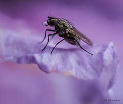 A world of its own (LeeCanham) Tags: macro fly purple