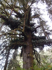 Family Tree, Redwoods (Dlp-o-Rama) Tags: california trees usa redwood redwoods westcoast treesofmistery