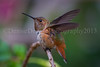 Allen's Hummingbird (DeniseDewirePhotography) Tags: orange bird leaves flying hummingbird fuschia allenshummingbird closedeye