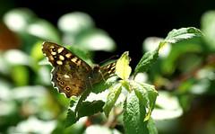 A Speckled Wood moment... (SteveJM2009) Tags: uk light sun sunlight colour detail june butterfly leaf focus dof dorset opaque transparent markings basking stevemaskell speckledwood 2013 durlstoncountrypark
