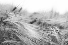 Le vent nous portera... (Marta Favro) Tags: blackandwhite nature cornfield wind wheat natura vento grano naturalphotography blackandwhiteonly fotografianaturalistica naturalisticphotography