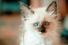 Fuzzyfest (CarbonNYC [in SF!]) Tags: violaalba viola kitty kitten cat pet eyes blue blueeyes blueeyed carbonnyc carbonsf