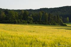 Fields of gold N5 (Bernhard_Thum) Tags: nature field natur feld franken carlzeiss zf2 gsweinstein nikond800e aposonnart2135 bernhardthum