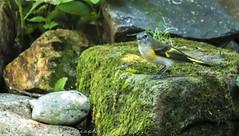 Female Redstart (paramaniac10) Tags: nature birds dragonflies butterflies toads insects bugs frogs amphibians raptors damselflies lizzards