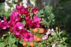 Lato na balkonie (bazylek100) Tags: flower nature balcony balkon poland polska natura bougainvillea kraków cracow bugenwilla
