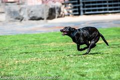 GeorgeRogers-dog-Playing_DSC48820016.jpg (orig_lowolf) Tags: usa dog playing oregon nikon lakeoswego georgerogerspark d300s sigmaaf150500mmf563apodgoshsm