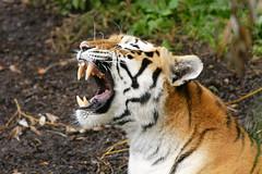Panthera tigris altaica 1