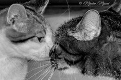 e amore fu... (massimo mazzoni 78) Tags: blackandwhite bw love canon eos kiss bn gatto amore bacio biancoenero micio micia gatta affetto eos7d