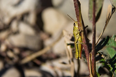 Hide n seek (Rock_Doc) Tags: morning canada flower canon insect drive pond grasshopper sportfield 60d