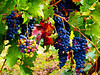 Una copa para andar (Jesus_l) Tags: españa europa valladolid uvas sardóndeduero jesusl
