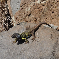 Kanareneidechse - Gallotia galloti (alustar99 - offline) Tags: spain kanaren canarias lizard tenerife teneriffa canaryislands spanien kanarischeinseln chinamada gallotia galloti